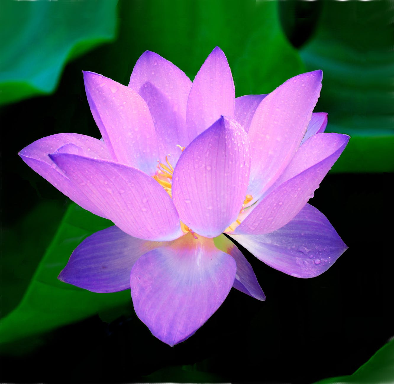 lotus-flower-nymphaea-caerulea-aquatic-plant-62681.jpeg